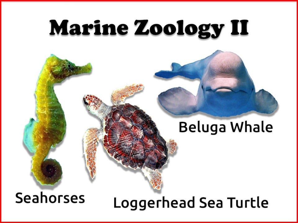 Marine Zoology: Seahorses, Beluga Whale, and Loggerhead Sea Turtle 3-lesson Online Course