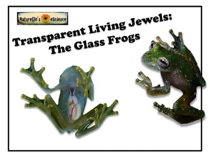 Free! Transparent Living Jewels: The Glass Frogs 1-lesson Online Study